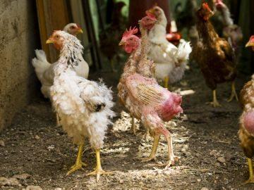 Облысение цыплят и курей причины и способы устранения